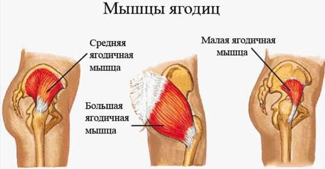 Ягодицы - это три парные мышцы ягодичной области: большая ягодичная, средняя ягодичная и малая ягодичная.