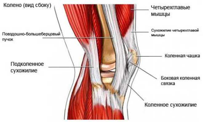 Колени состоят из хрящевой ткани, костей, сухожилий, связок и мышц.
