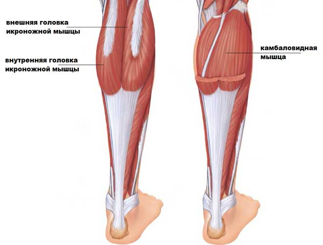 Икроножная мышца — это невероятно выносливая мышца. Каждый день она получает нагрузку, которую тот же бицепс никогда бы не вынес.