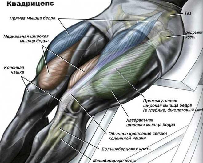 Четырехглавая мышца отвечает за поддержание тела в устойчивом вертикальном положении, сгибает ногу в тазобедренном суставе и участвует в сгибе колена.